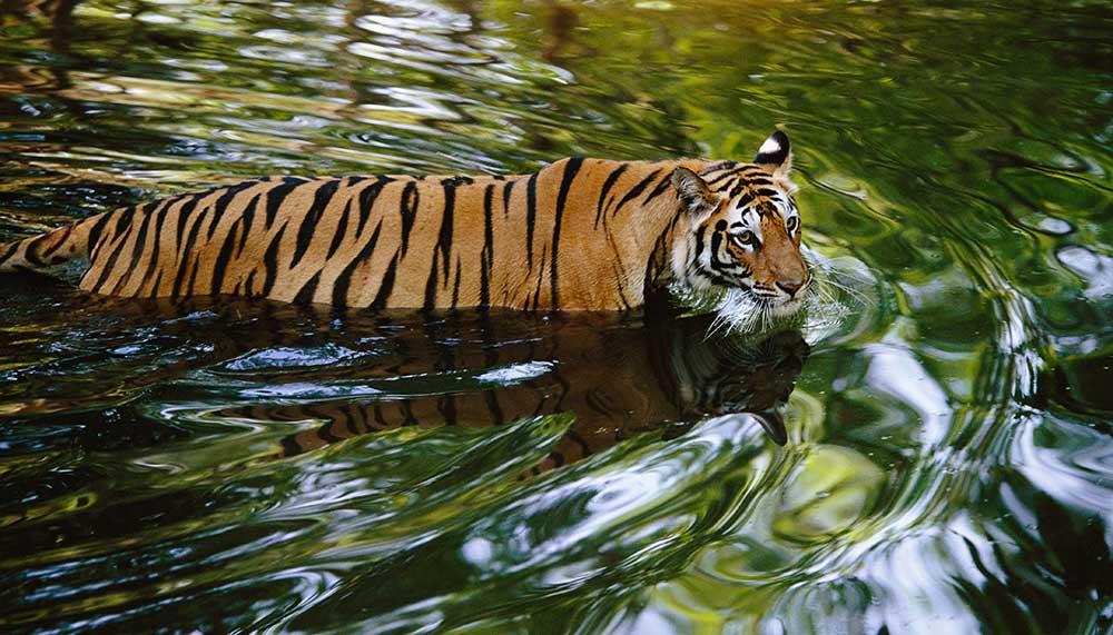 Theo Allofs, Tiger