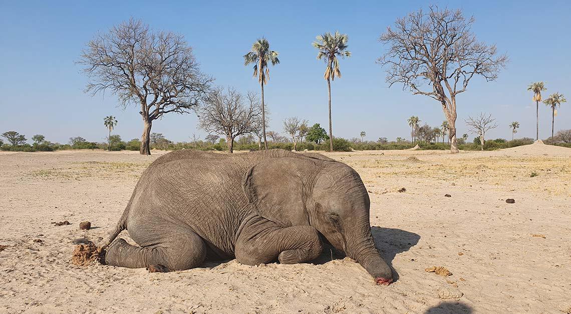 Dead baby elephant in Zimbabwe