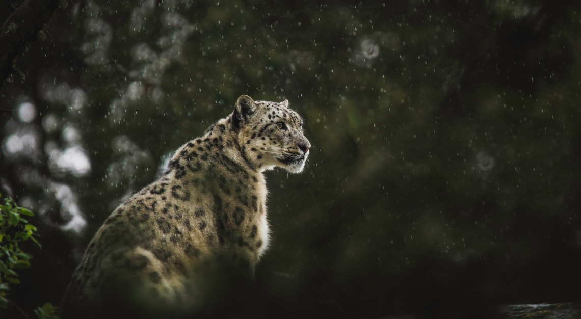 &Beyond snow leopard in India