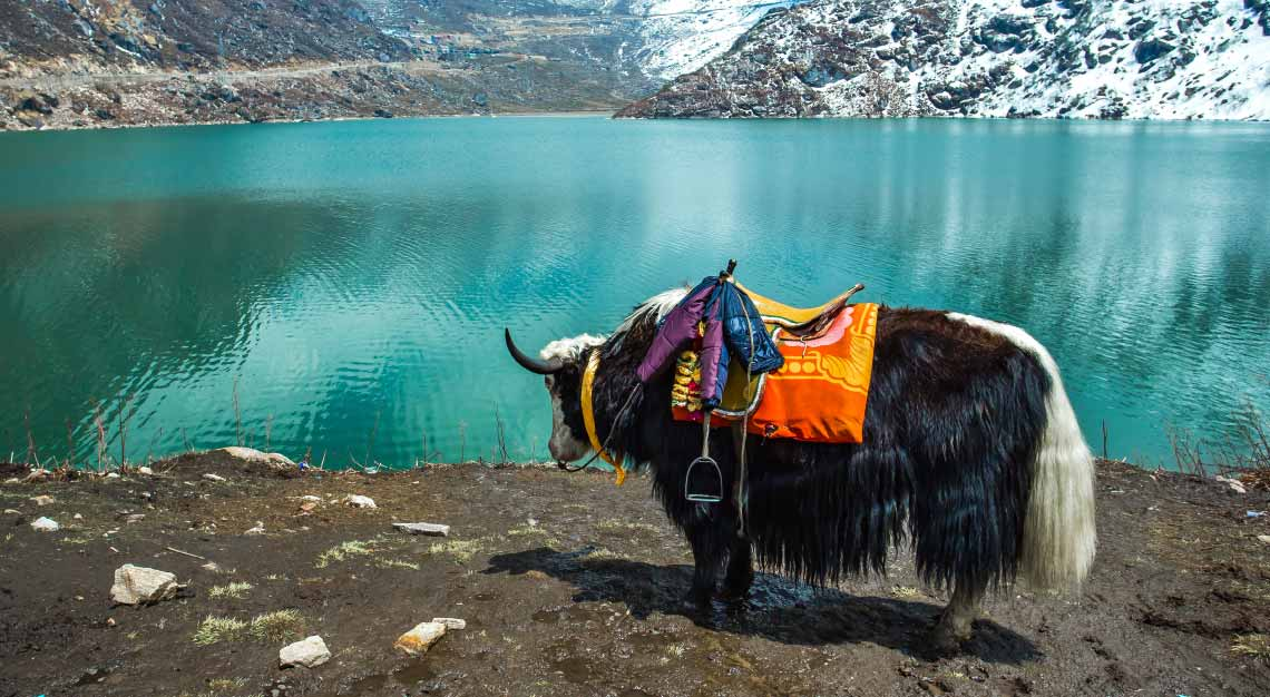 India Yak Sikkim