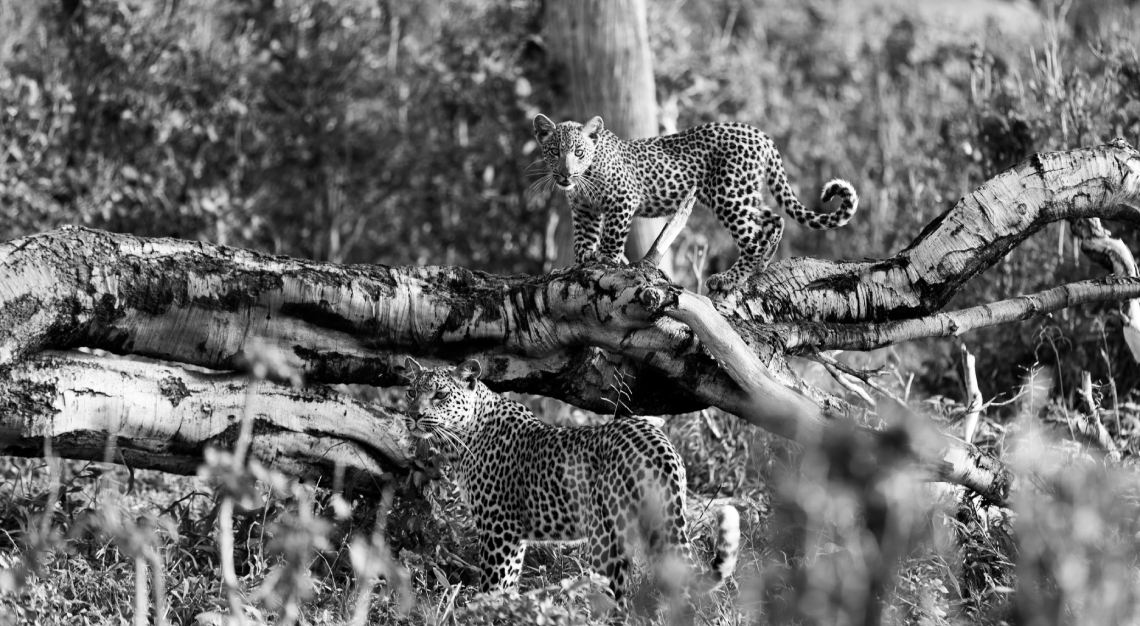 Leopard and it's cub