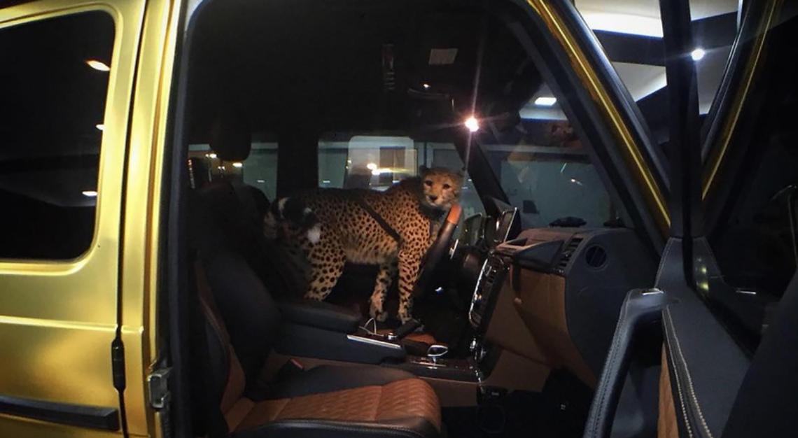 A cheetah in his car