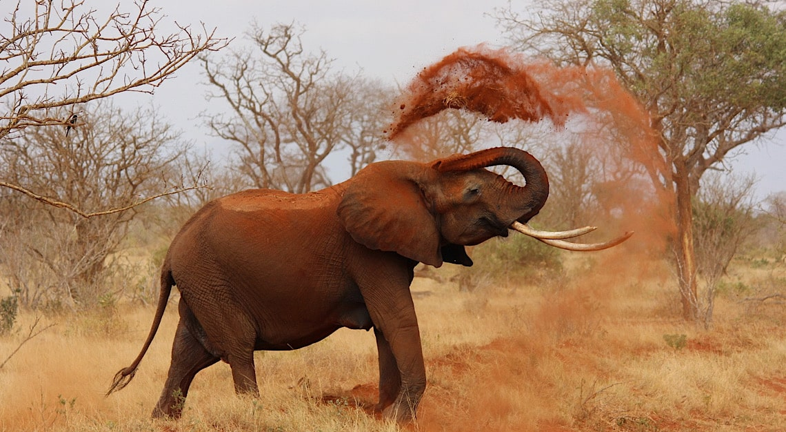Elephants endangered