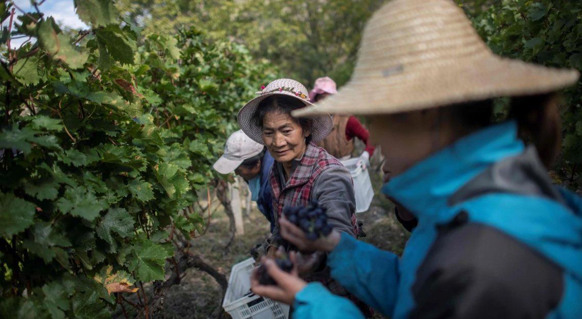 Ao Yun vineyards